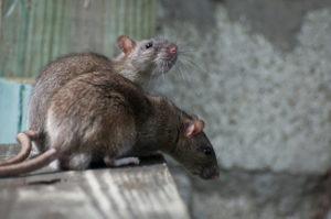 rat exterminators